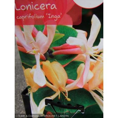 Lonicera caprifolium 'Inga' - Chevrefeuille grimpant , chèvrefeuilles des jardins