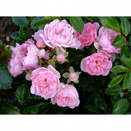 Rosa 'Beauty Fairy' - Rosaceae - rosier grimpant