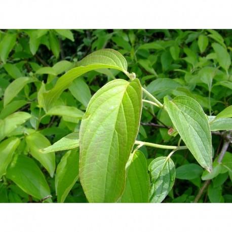 Cornus amomum - Cornaceae - cornouiller