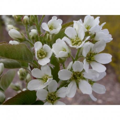 Amelanchier x 'Viridiflora' - Amélanchier