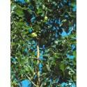 Maclura pomifera -Oranger des Osages, Bois d'arc