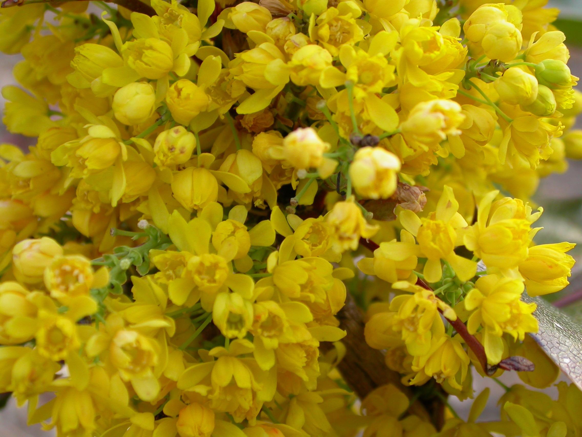 Quand Et Comment Tailler Un Houx mahonia aquifolium apollo - mahonia à feuilles de houx