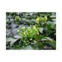 Mahonia aquifolium 'Apollo' - Mahonia à feuilles de Houx