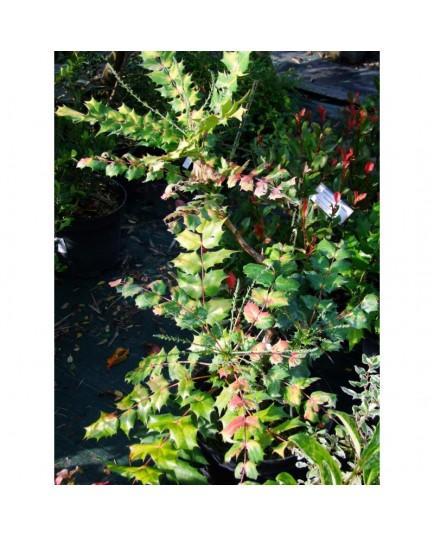 Mahonia japonica 'Hivernant'