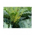 Mahonia media x 'Winter Sun'