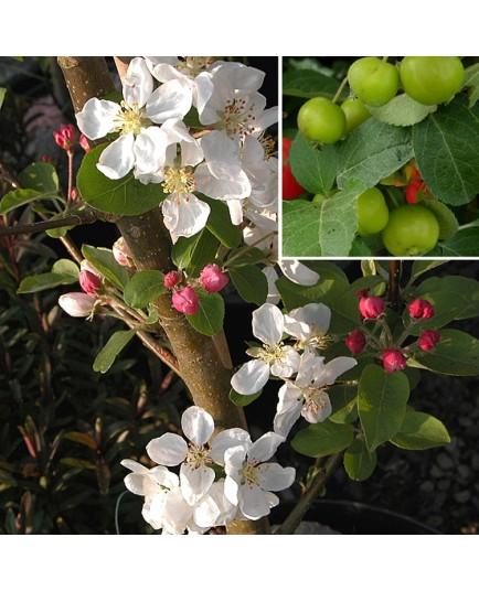 Malus 'Everest'® - pommiers d'ornement, pommier fleurs