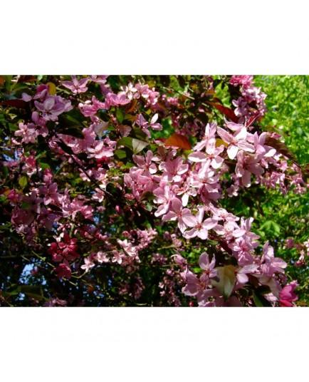 Malus moerlandsii x 'Liset' - pommier d'ornement, pommier fleur