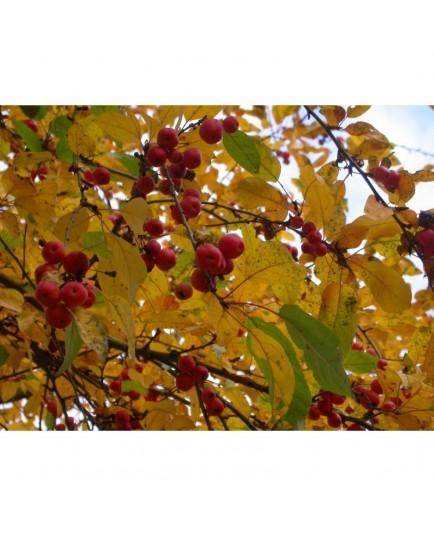 Malus robusta x 'Red Sentinel' - pommier fleurs, pommier d'ornement