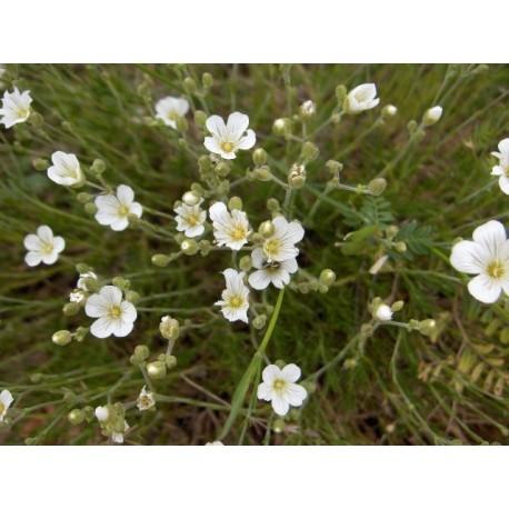 Minuartia laricifolia - Minuartie à feuilles de Mélèze
