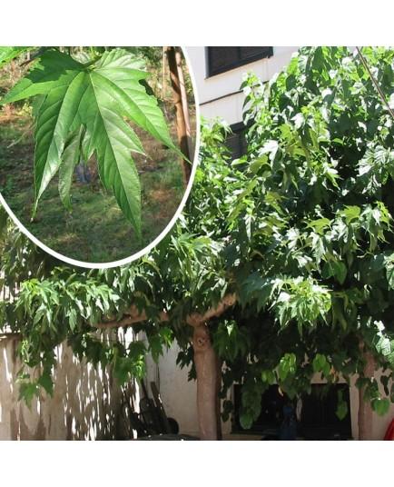 Morus kagayamae - mûriers à feuilles de platane,