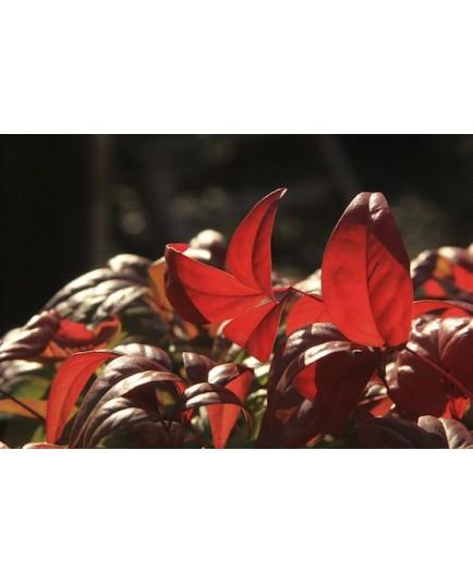 Nandina domestica 'Firepower' - Bambou Sacré