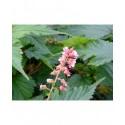 Neillia affinis