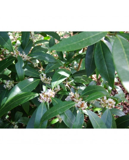 Osmanthus decorus - Osmanthe