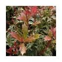 Osmanthus heterophyllus 'Goshiki' - Osmanthe panaché