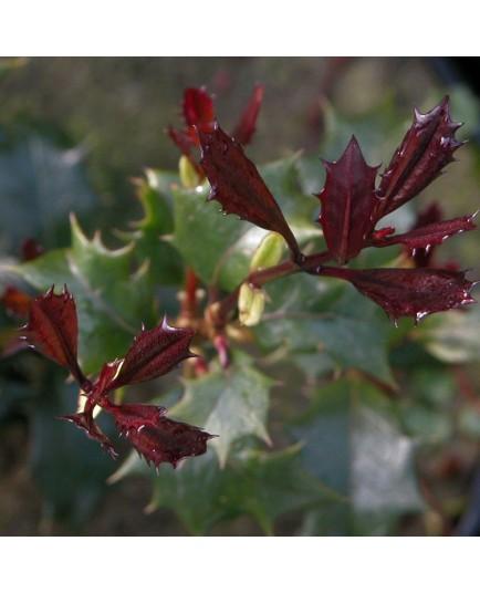 Osmanthus heterophyllus 'Purpureus' - Osmanthe à feuille pourpre