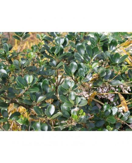 Osmanthus heterophyllus 'Rotundifolius' - Osmanthe