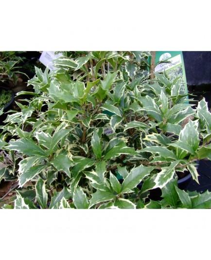 Osmanthus heterophyllus 'Variegatus' - Osmanthe panaché