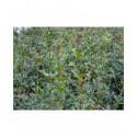 Osmanthus heterophyllus - Osmanthe