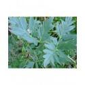 Paeonia delavayi - pivoine en arbre