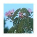 Albizia julibrissin 'Ombrella'® - arbres à soie, acacia de Constantinople