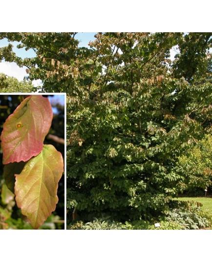 Parrotia persica - arbres de fer,