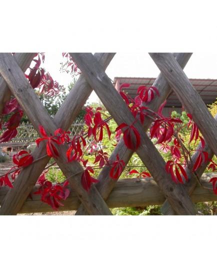 Parthenocissus quinquefolia 'Engelmanii' - vigne vierge