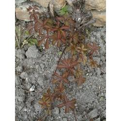 Parthenocissus quinquefolia - Vigne Vierge