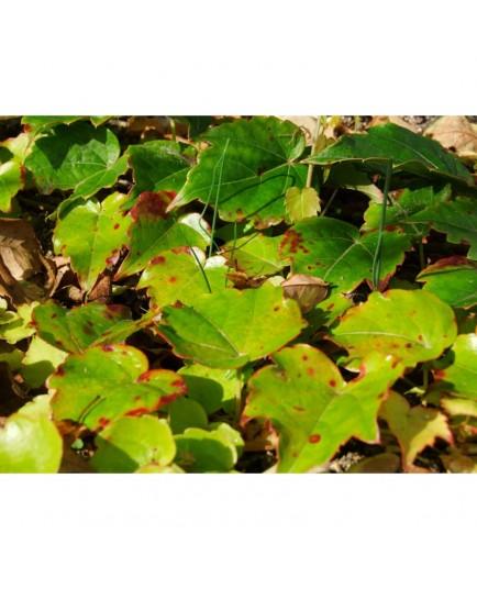 Parthenocissus tricuspidata 'Green Spring' - vigne vierge