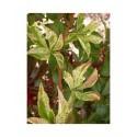 Parthenocissus tricuspidata 'Star Shower' - vigne vierge