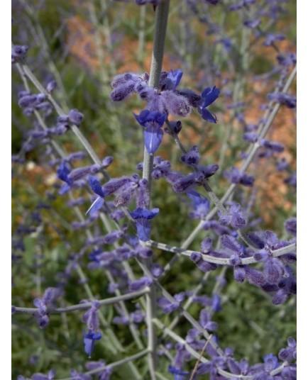 Perovskia 'Blue Spire' - Lavande d'Afghanistan