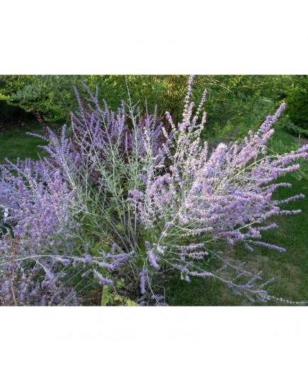 Perovskia atriplicifolia 'Blue Haze'