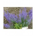 Perovskia atriplicifolia 'Lacey Blue'® - Spirée d'afghanistan