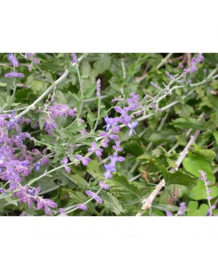 Perovskia scrophulariifolia - Lavande d'Afghanistan