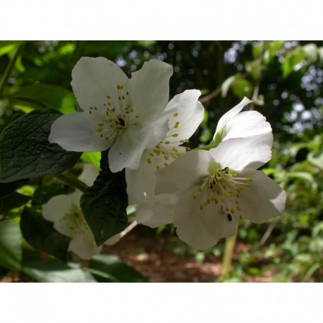 Philadelphus  'Hidden Blush' - seringat
