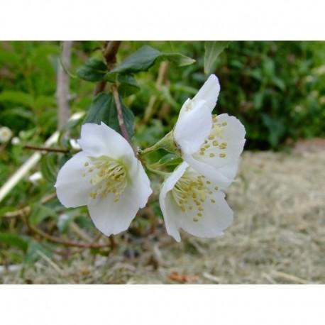 Philadelphus polyanthus x 'Boule d'Argent' - seringat