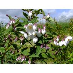 Philadelphus purpurascens - Seringat