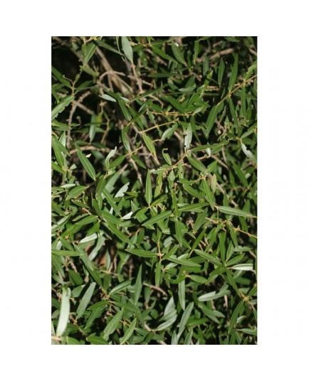 Phillyrea angustifolia - filaires à feuilles étroites, alaverts