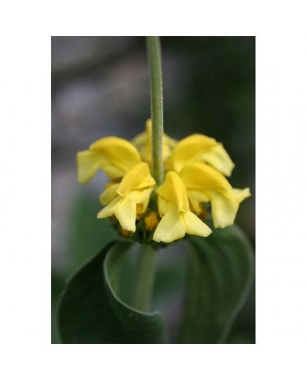 Phlomis grandiflora - Sauge de Jérusalem à grande fleur