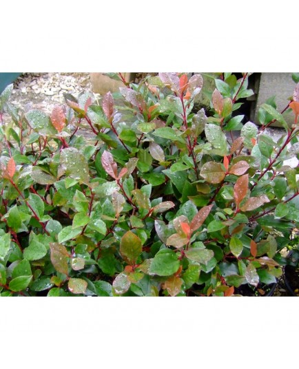 Photinia fraseri x 'Little Red Robin'