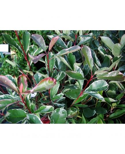 Photinia fraseri x 'Pink Marble'®