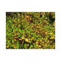 Physocarpus opulifolius