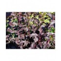 Physocarpus opulifolius 'Diable d'Or'®