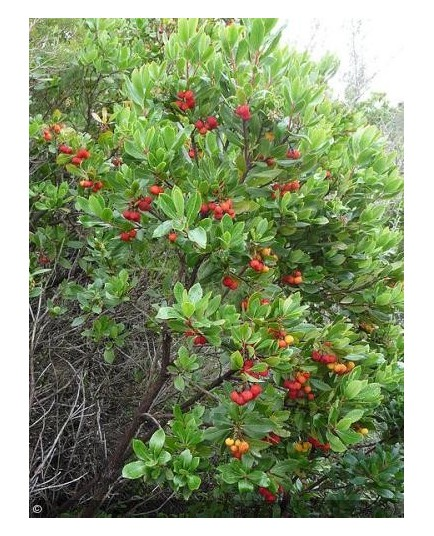 Arbutus unedo, arbousier, arbre aux fraises
