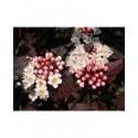 Physocarpus opulifolius 'Diabolo'®