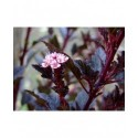 Physocarpus opulifolius 'Little Devil'®'