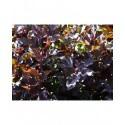 Physocarpus opulifolius 'Summer Wine' ®