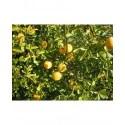 Poncirus trifoliata - oranger trifolié, citronnier épineux