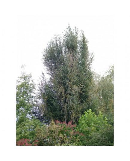 Populus simonii 'Fastigiata' - peuplier fastigié