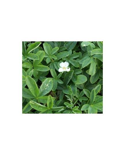 Potentilla alba -Potentille blanche , potentille alpicole