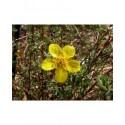 Potentilla fruticosa var arbuscula - Potentille arbustive